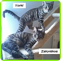 Adopt A Pet :: Yorki - Miami, FL