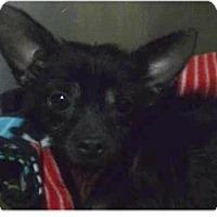 Adopt A Pet :: Annabelle - Springdale, AR