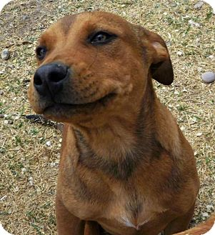 American Staffordshire Terrier Mix Dog for adoption in Peralta, New Mexico - **CZR