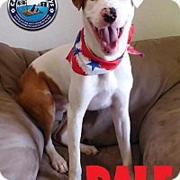 Catahoula Leopard Dog Dog for adoption in Arcadia, Florida - Dale