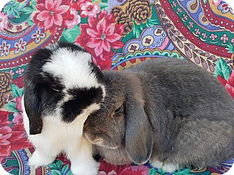 Mini Lop Mix for adoption in Los Angeles, California - Username & Password