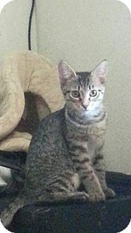 Domestic Shorthair Cat for adoption in Surprise, Arizona - Luna