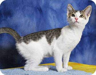 Domestic Shorthair Kitten for adoption in South Bend, Indiana - Anna Grace