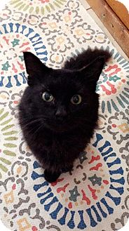 Domestic Mediumhair Cat for adoption in Delmont, Pennsylvania - Grayson
