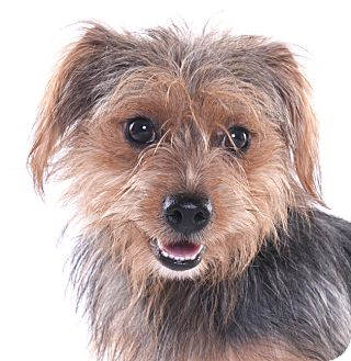 Yorkie, Yorkshire Terrier Mix Dog for adoption in Chicago, Illinois - Buster