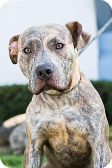 Staffordshire Bull Terrier/Weimaraner Mix Dog for adoption in San Diego, California - Keen