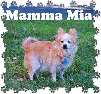 Pomeranian Mix Dog for adoption in Fallston, Maryland - Mamma Mia