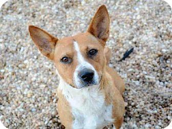 Cardigan Welsh Corgi Mix Dog for adoption in Jacksonville, Florida - LULU