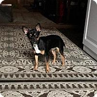 Adopt A Pet :: Sweet Pea - Harrisonburg, VA