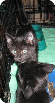 Domestic Shorthair Kitten for adoption in Harriman, NY, New York - Jerry and Joe