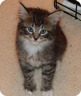 Maine Coon Kitten for adoption in Lighthouse Point, Florida - Alexander