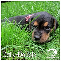 Adopt A Pet :: Daily-Double - Novi, MI