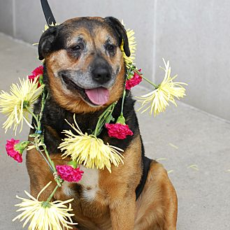 Rottweiler Mix Dog for adoption in Detroit, Michigan - Dug
