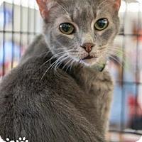 Adopt A Pet :: Lex - Merrifield, VA