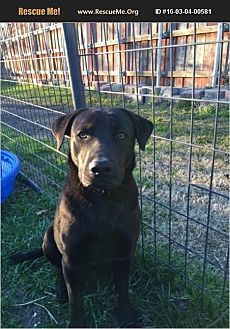 Labrador Retriever Mix Dog for adoption in Plano, Texas - Harley