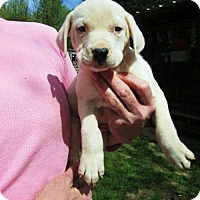 Adopt A Pet :: Hazel - Williston Park, NY