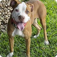 Boxer Mix Dog for adoption in Houston, Texas - Strawberry Shortcake