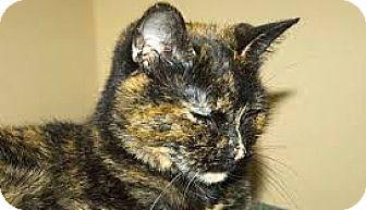 Domestic Shorthair Cat for adoption in Toronto, Ontario - Pip