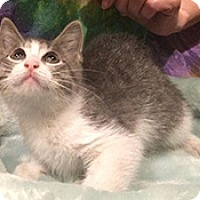 American Shorthair Kitten for adoption in Metairie, Louisiana - Wyatt