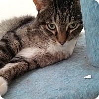 Domestic Shorthair Cat for adoption in Addison, Illinois - Winnifer
