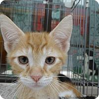 Adopt A Pet :: Dumpster Kitten - Elyria, OH
