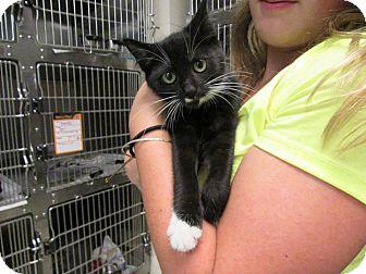 Domestic Shorthair Kitten for adoption in Windsor, Virginia - Pinky