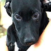 Adopt A Pet :: Dazzler - Glastonbury, CT