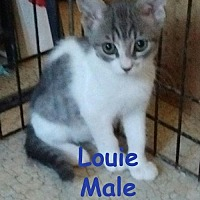 Domestic Shorthair Cat for adoption in Visalia, California - Louie