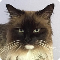 Birman Cat for adoption in Norwalk, Connecticut - Bugsy