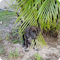 Hound (Unknown Type)/Pointer Mix Puppy for adoption in loxahatchee, Florida - Violet