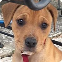 Adopt A Pet :: Spice - Spring, TX