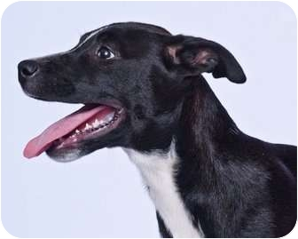 American Pit Bull Terrier/Labrador Retriever Mix Dog for adoption in Vidor, Texas - Specks