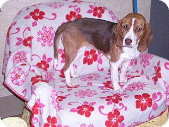 "Beagle Dog for adoption in New Castle, Pennsylvania - "" Cookie """