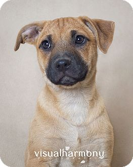 Shepherd (Unknown Type) Mix Puppy for adoption in Phoenix, Arizona - Adley