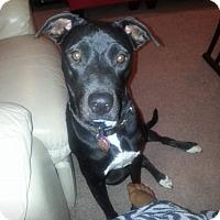 Adopt A Pet :: JuCee - Las Vegas, NV