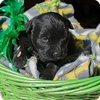 Adopt A Pet :: Joan $250 - Seneca, SC