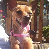 Adopt A Pet :: Penny-chi - Windermere, FL