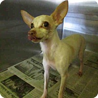 Adopt A Pet :: Champ - Encino, CA