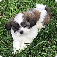 Adopt A Pet :: Perth, Neil, Violet, Veronica - Fairview Heights, IL