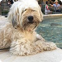 Adopt A Pet :: Sophie - Van Nuys, CA