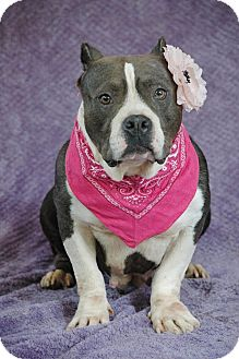 Pit Bull Terrier Dog for adoption in Lawrenceville, Georgia - Mia