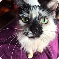 Maine Coon Cat for adoption in Absecon, New Jersey - Luna