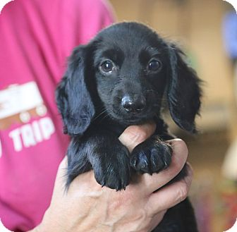 Dachshund Puppy for adoption in Glastonbury, Connecticut - Hugo~adopted!!