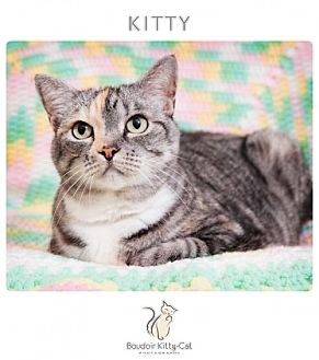 Domestic Shorthair Cat for adoption in Franklin, Tennessee - KITTY