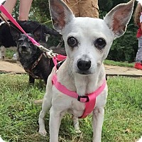 Chihuahua/Terrier (Unknown Type, Small) Mix Dog for adoption in Fayetteville, Arkansas - Duchess