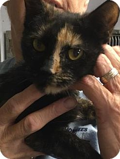 Domestic Shorthair Cat for adoption in Voorhees, New Jersey - Nova