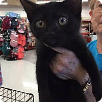 Domestic Mediumhair Kitten for adoption in Mansfield, Texas - Leo