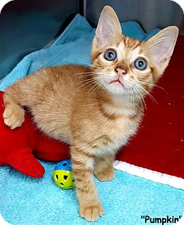 Domestic Shorthair Kitten for adoption in Key Largo, Florida - Pumpkin