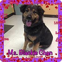 Adopt A Pet :: Ms.Blackie Chan - Pahrump, NV