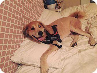 Golden Retriever/Chow Chow Mix Dog for adoption in Allen, Texas - Spirit
